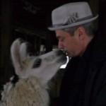A peaceful encounter with a llama